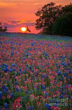☀Sunset in the Bluebonnets and Indian Paintbrush in Ennis, Texas 💙☀💙 ~wanda~  https://fineartamerica.com/featured/texas-sunset-inge-johnsson.html