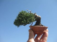 盆栽:30日、31日は、春風会「春の盆栽展示会」|春嘉の盆栽工房