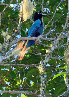 Paradisaea rudolphi / Ave-del-paraíso Azul/ Blue Bird-of-paradise / Paradisier bleu/Blauparadiesvogel