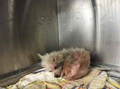 18-year-old miniature poodle surrendered to shelter by his family