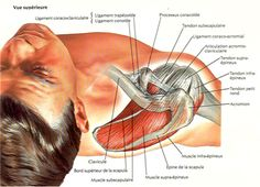 SITS muscles, Subscalpularis, Infraspinatus, Teres major/minor, and Scalpularis are all treated for Rotator cuff discomfort. Shoulder Anatomy, Medical Symptoms, Musculoskeletal System, Muscle Tattoo, Human Anatomy And Physiology, Medical Anatomy, Muscle Anatomy, Rotator Cuff, Bones And Muscles