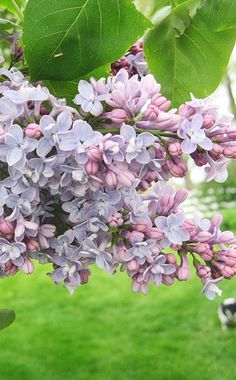 Lilac  There's no sweeter spring fragrance than the blooms of this cottage-garden favorite. Lilac varieties come in all shapes and sizes, from dwarf shrubs to taller trees. One tip: The lilac blooms on old wood, so hold off on pruning until right after the same year's flowering is finished.  Name: Syringa vulgaris  Growing conditions: Full sun and well-drained soil  Size: To 20 feet tall and wide  Zones: 4-8