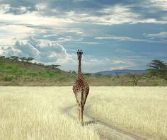 Beautiful amazing cute bay giraffe growing to be the tallest giraffe in the world and the most beautiful giraffe animal safari picture by. Beautiful World, Animals Beautiful, Beautiful Places, Animals Images, Cute Animals, Wild Animals, Baby Animals, Ben Heine, Giraffe Photos