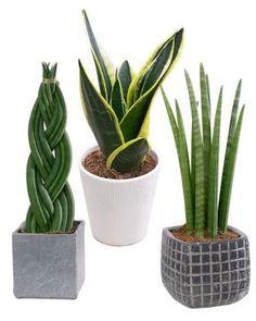 Anoppi mix Cactus Plants, Cacti, Cactus