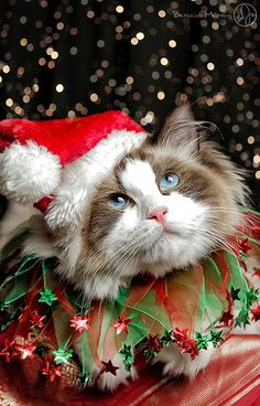 photos of christmas cats - Bing images Christmas Kitten, Christmas Animals, Christmas Christmas, Xmas, Pretty Cats, Beautiful Cats, Kittens Cutest, Cats And Kittens, Gatos Cats
