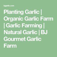 Planting Garlic | Organic Garlic Farm | Garlic Farming | Natural Garlic | BJ Gourmet Garlic Farm