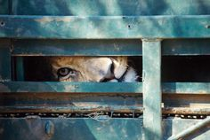 """Up to 7,000 lions are living behind bars in South Africa. Raised in captivity on private breeding farms and hunting """"reserves,"""" some of these animals are petted as cubs by tourists, who can also walk alongside or even feed more mature lions.   Eventually, many are shot in """"canned"""" hunts, in which lions are pursued and killed in confined areas that make them easy targets. Hunt fees can be as high as $50,000."""