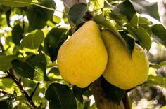 Pears (Hyper EmOtIoNaL / Cherepovets / Veliky Novgorod / Russia) #NIKON D90 #food #photo #delicious