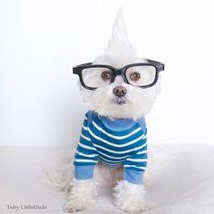 Conheça Toby LittleDude - O adorável cachorrinho Hipster