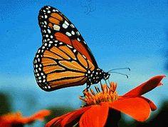 Monarch Butterfly (photobucket)