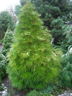 Japanese umbrella pine (Sciadopitys verticillata) in a slow growing conifer to high. Uniquely shiny, long needles make a great accent for small spaces or containers. Dwarf Evergreen Trees, Conifer Trees, Trees And Shrubs, Columnar Trees, Garden Shrubs, Garden Trees, Lawn And Garden, Garden Paths, Dwarf Trees For Landscaping
