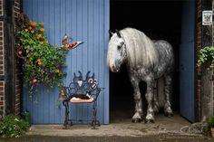 Boulonnais..........so beautiful !!