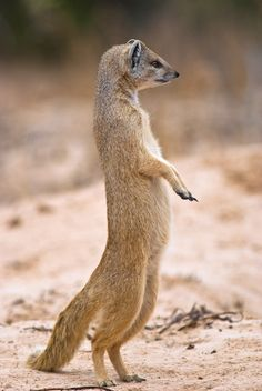 Yellow Mongoose - Yellow mongoose in alert position in the Kgalagadi Transfrontier np, South Africa.