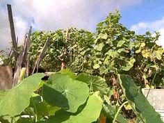 Уникальный метод выращивания огурцов - YouTube посадка 10-15 июня