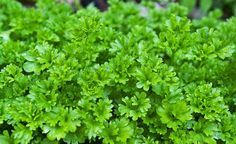 2000 pcs/Bag Mini Sementes Wrinkled Leaf Parsley Seeds Marseed Outdoor Home Gardening Planting Seeds