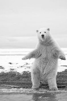 Looks like polar bear is celebrating bowling a strike. LOL.