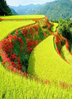 Red spider lilies in between lime colored rice terraces in Japan.**