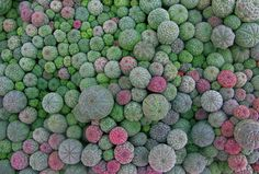 Euphorbia obesa by Manuel M. Ramos, via Flickr