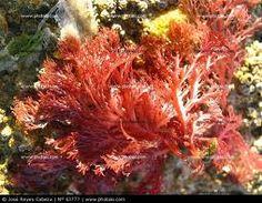 Algas Marinhas Vermelhas Ver todas as imagens