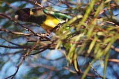 "Australian Ring Neck Parrot, known locally as a ""twenty eight"", Western Australia."
