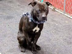 NYC ~  URGENT!  Friendly, sweet, smart and available for public adoption ... Lex just needs a hero.