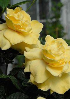 Houseplants That Filter the Air We Breathe Yellow Gardenias . Beautiful, I've Never Seen Yellow Gardenias Before. All Flowers, Amazing Flowers, Beautiful Roses, My Flower, Beautiful Gardens, Beautiful Flowers, Gardenias, Mellow Yellow, Yellow Flowers