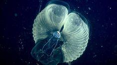 Amerikaanse wetenschappers hebben een bijzondere eigenschap van mantelvisjes ontdekt. Het was al bekend dat de dieren een 'slijmhuisje' om zich heen bouwen om deeltjes uit het water te filteren. Nu blijkt dat ook koolstof wordt 'gevangen' in dit slijm. Deep Sea Animals, Sea Floor, Monterey Bay Aquarium, Body Fluid, Sea Creatures, Underwater, Youtube, Palaces, Scientists