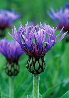 Centaurea montana    Mountain Cornflower