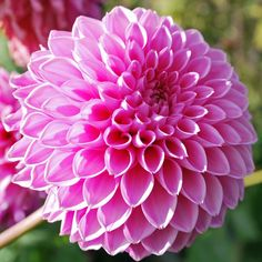 Dahlia 'Sandra' - Rose Cottage Plants