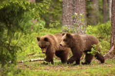 Two little brown bears walking in the forest