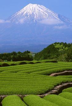 Mount Fuji and tea plantation, Japan
