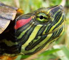 Another pinner said: The red eared slider turtle is an extremely easy and fun pet to have! I got two turtles in December of I have enjoyed watching them grow,. Turtle Care, Pet Turtle, Cute Turtles, Baby Turtles, Red Ear Turtle, Red Eared Slider Turtle, Animals And Pets, Cute Animals, Aquatic Turtles