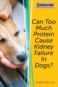 Some dog owners think that too much protein can cause kidney failure in dogs. So they restrict the amount of dog protein in their pet's diet for fear that it may affect their health. So is this something to worry about or is it just a myth? Find out more. #doghealth #dognutrition