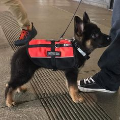 Psychiatric Service Dog, World Cutest Dog, First Day Of Work, Cute Dogs Breeds, Dog Breeds, Cute Dog Pictures, Animal Pictures, Dog Vest, Therapy Dogs