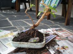 first bonsai