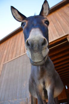 Albert donkey living at our Northern California Shelter.