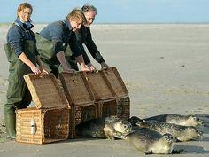 Lene Kemper (l-r), Tim Fetting und Peter Lienau von der Seehundaufzuchtstation in Norddeich entlassen auf der ostfriesischen Insel Juist vier ihrer jungen Seehunde in die Freiheit. In der Seehundstation werden jährlich 50 bis 100 verwaiste Seehunde aufgezogen und wieder in die Nordsee ausgesetzt.