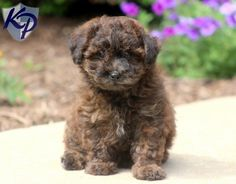 Mimi – Poodle Mix Puppies for Sale in PA Poodle Mix Puppies, Amazing Hd Wallpapers, Puppy Finder, Buy A Dog, Puppies For Sale, Puppy Love, Creatures, Pets, Animals