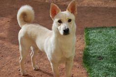 Meet Rhino a Petfinder adoptable Shiba Inu Dog | Glendale, AZ | Rhino is a mix, but we are not sure about his parentage. He was reported to be a corgi mix, but we are not so sure. But boy is he handsome! Rhino is a 10 month old puppy and full of puppy exuberance. He has reached the chewing stage which why he was placed in rescue. This handsome mix has plenty of energy and needs a home that can give him the attention he craves. Rhino would do best in a home with a yard.