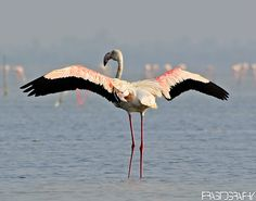 Greater Flamingo (Phoenicopterus roseus) by prasanth2406, via Flickr