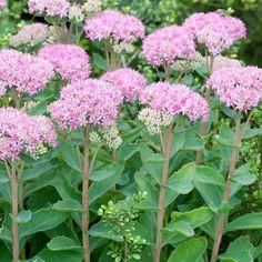 Hemelsleutel Wilt u in de nazomer ook nog bloemen in uw tuin voor de vlinders dan mag de hemelsleutel niet ontbreken. Mooie roze schermen die in augustus/september voor de vlinders een goede voedselbron zijn. Ze kunnen zo'n 40 cm hoog worden. Stelt niet veel eisen aan de grond.