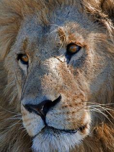 Portrait of a Male African Lion, Panthera Leo, Okavango Delta, Botswana - Photographer Beverly Joubert