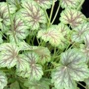 Coral bells 'Vanilla Spice' - red-veined silvery-green leaves w/ sprays of creamy-white blooms. Foliage turns red & orange in the fall. Coral Bells, Heuchera, Creamy White, Shade Garden, Sprays, Green Leaves, Gardening Tips, Spice, Vanilla
