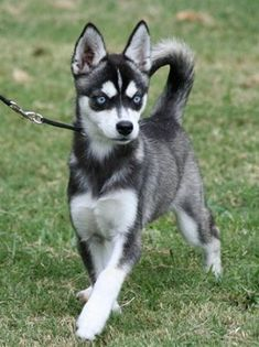 alaskan klee kai pup.. It is a small husky. I love this