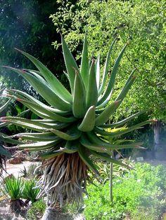Common Names, Madagascar, Aloe, Succulents, Paradise, Bitter, Garden, Plants, Google