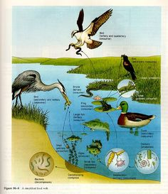 pond food chain - Google Search