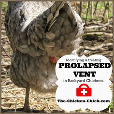 """Prolapse vent in chickens, also known as prolapsed oviduct, blow-out, cloacal prolapse, or pickout, … """"is a condition in which the lower part of a hen's oviduct turns inside out and protrudes through the vent.""""1 Prolapse is a very serious condition that is treatable if caught early and is likely to recur."""