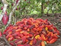 Iran Food, Green Coffee Bean Extract, Cocoa Chocolate, Exotic Fruit, Diy Cleaning Products, Restaurant Bar, Trees To Plant, Ecuador, Gourmet Recipes