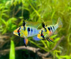 """AquaMom (@aquamom44) posted on Instagram: """"Taking a stroll with his lady. 💕. . . . . . #aquarium #aquariumfish #aquariumhobby #plantedtank #plantedtanks #plantedaquarium…"""" • Sep 17, 2020 at 12:06pm UTC"""