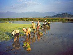 Transplanting rice, Daklak province, Central Highlands